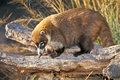 White-nosed Coati Stock Photo