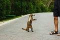 White-Nosed Coati Animal And T...