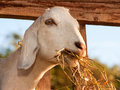 White nubian goat eating hay Royalty Free Stock Photos