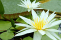 White Nymphaea Royalty Free Stock Photos
