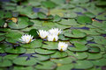 White nymphaea alba albas surrounded by leaves Royalty Free Stock Photos
