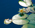 White Nymphaea alba among leaf Royalty Free Stock Photo