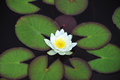 White nymphaea alba surrounded by leaves Stock Photography