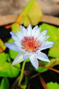 White Nymphaea Royalty Free Stock Photo