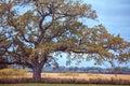 A White Oak In Autumn