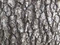 White Oak Tree Bark