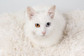White odd-eyed cat Royalty Free Stock Photo