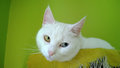 White odd eyed cat on green background Stock Image