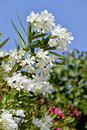 White oleander flowers nerium on blue sky background Royalty Free Stock Photography