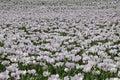 White opium poppies Royalty Free Stock Photo