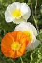 White and orange poppies Royalty Free Stock Photo