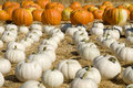 White and orange pumpkin patch Royalty Free Stock Photo