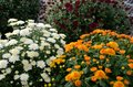 White, orange, and red mums bring fall color. Royalty Free Stock Photo