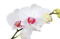 White orchid flower dof fresh isolated on background Stock Photos
