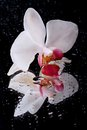 White orchid flower with water droplets on black isolated background close up macro reflection Stock Photography