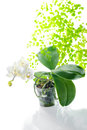 White orchid in flowerpot with leaves fern, isolated o