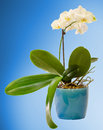 White orchid  flowers in a blue flower pot, Orchidaceae, Phalaenopsis known as the Moth Orchid, abbreviated Phal. Blue background Royalty Free Stock Photo