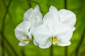 White orchid flowers close-up. Indonesia, Bali Royalty Free Stock Photo