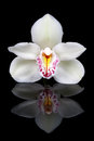 White orchid isolated on black Royalty Free Stock Images