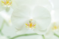White orchid macro picture of flower Royalty Free Stock Photo