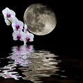 White orchid moon reflections Royalty Free Stock Photo