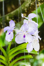 White Orchid, Vanda hybrids in garden Royalty Free Stock Photo