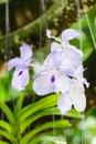 White Orchid, Vanda hybrids in garden Royalty Free Stock Photo