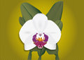 White orchid vector illustration of Royalty Free Stock Photography