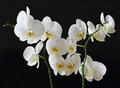 White orchids on black background Royalty Free Stock Images