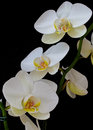 White orchids with a black background Stock Photography