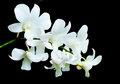 White Orchids On Black Backgro...