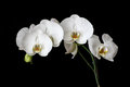 White Orchids with Black Background Royalty Free Stock Photo