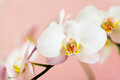 White orchids flowers Royalty Free Stock Photos