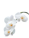 White orchids orchid branch isolated on background Royalty Free Stock Photography