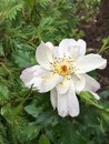 White Oscar Peterson Rose In G...
