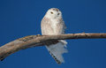 White owl snowy on a branch Stock Image