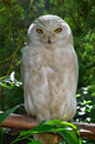 White owl with yellow eyes Royalty Free Stock Photos
