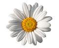 White oxeye daisy beautiful pure with its vivid yellow centre isolated on a background signifying spring Stock Images