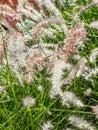 White pampas grass closeup of Stock Photos