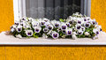 White pansies at window viola tricolor hortensis Stock Photo