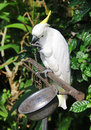 White parrot bound in chains Royalty Free Stock Photo