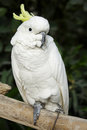 White parrot Royalty Free Stock Photo