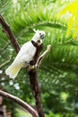 White parrot of a cockatoo Stock Images