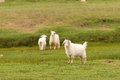 White pashmina goats standing on green grass field Royalty Free Stock Photography