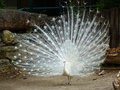 A white peacock and his wonderful tail Stock Photography