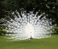 White peacock and perfect lawn Royalty Free Stock Photo