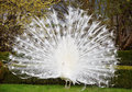 White peacock showing his beautiful tail Royalty Free Stock Image