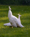 White peacocks pair of gracefully sitting on a glade in the park the evening sun and watch around Royalty Free Stock Images