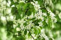 White pear flowers of fresh green spring leaves Royalty Free Stock Photo