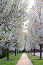 White pear trees ornamental flowering in spring Royalty Free Stock Image